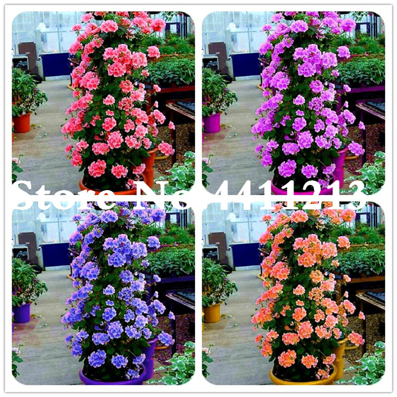 50 Pcs Bonsai Climbing Geranium Flower, Pelargonium Peltatum Geranium Bonsai, Courtyard & Balcony Outdoor Plant For Home Garden