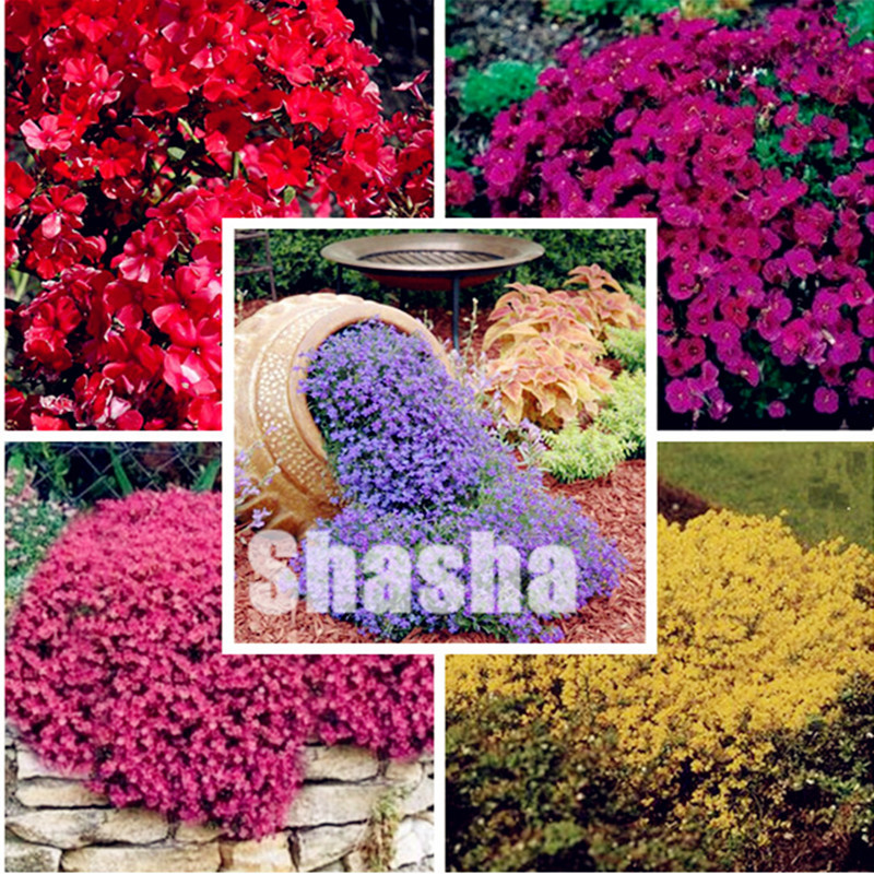 100Pcs Aubrieta Cultorum Bonsai Rare Purple Ground Cover Rock Cress Flower Bonsai Home Garden Plant Perennial Ground Cover Plant