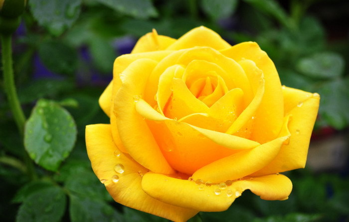 Yellow rose flowers image collections flower decoration ideas yellow rose flowers images wallpapersjpg online whole yellow rose seeds from china mightylinksfo mightylinksfo