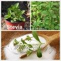 400 Sweet Leaf STEVIA REBAUDIANA Жизнеспособных семян ВЫСОКОГО КАЧЕСТВА бесплатная доставка