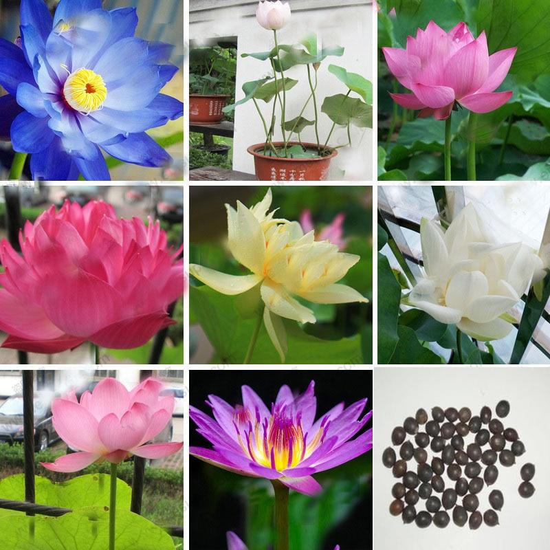 ⃝hot Sale 12 Colors ① Bowl Bowl Lotus Seeds Perennial