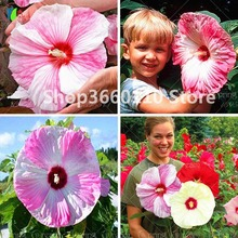 50pcs Hot Sale Rare Seedsplants Giant Hibiscus Flower Garden Home Potted Plants Okra Bonsai