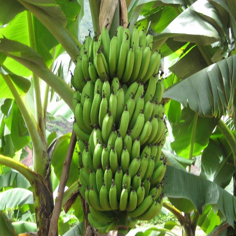 Шт./пакет 200 редкий зеленый банан Дыня вкус молока для дома садовое насаждение банан легко расти