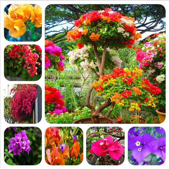 50 Pcs Bonsai Mixed Bougainvillea Plant Bougainvillea Spectabilis Willd Flower Plant Climbing Flower Plant Family and Garden