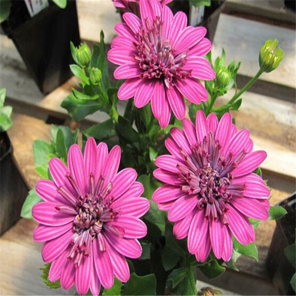 African Blue Eyed Daisy Plant Osteospermum Flowers Cape Mix Flower Bonsai Heirloom Plant For Home Garden 100 Pcs