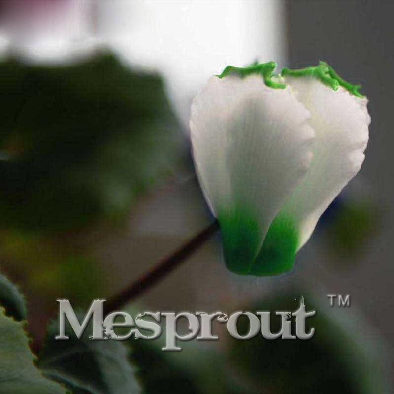 Новое поступление! 100 шт. зеленый край белый цикламен цветок семена многолетних цветущих растений семена цикламена для DIY Для дома и сада мне...
