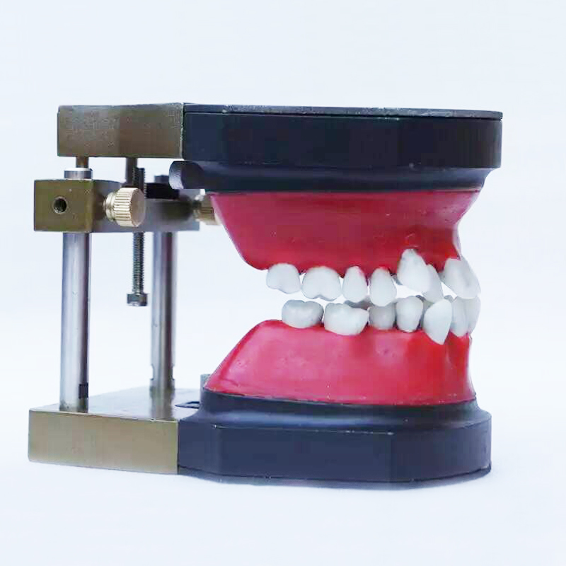 Dental manikin dental Typodont Model Dental Orthodontic model for training practice with wax teeth model and occluder senior wax dike orthodontic practice model wax dike teeth orthodontic practice model wax dike wrong jaw correction model