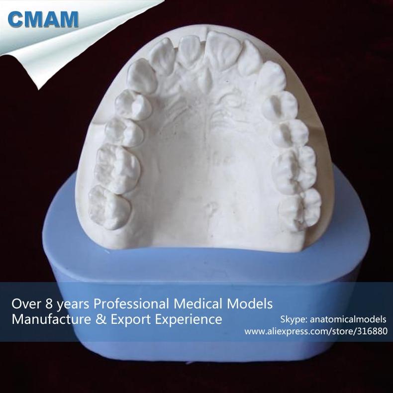 12570 / Adult Plaster Model Mold,Dental Rubber Mold,  Medical Science Educational Teaching Anatomical Models