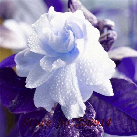 Hot Sale 2016 20 Colors Rare Gardenia Flowers Flower Seeds 50pc/pack Bonsai  Seeds For Home U0026 Garden Free Shipping
