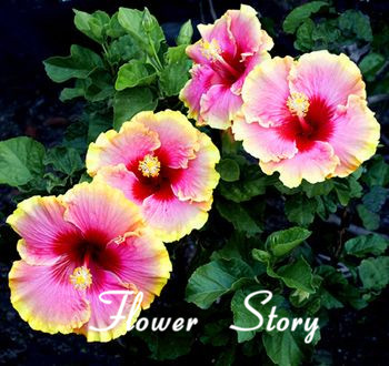 9 Colors Dinnerplate Hibiscus Perennial Flower 20 Seeds Color
