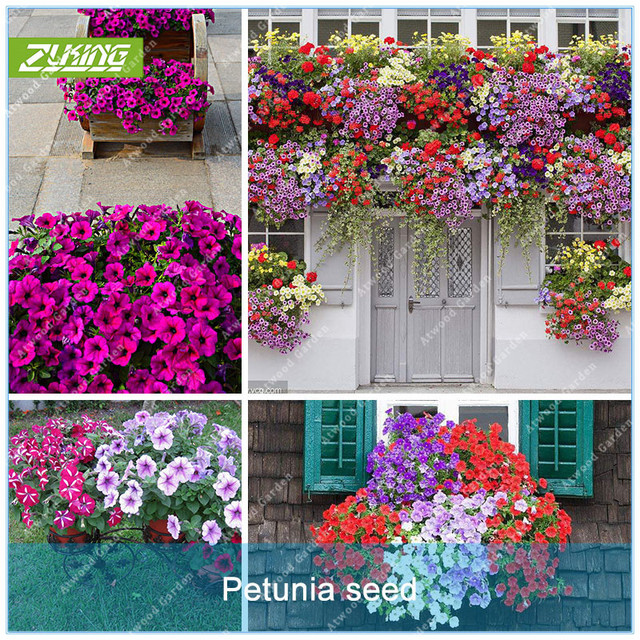 ZLKING 100pcs Garden Petunia Flower Bonsai Plants For Home Garden Exotic Plant Species Super Natural Products