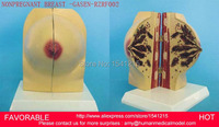 HUMAN ANATOMICAL SUCKLING PERIOD BREAST ORGAN DISSECTION MEDICAL TEACHING MODEL ,FEMALE BREAST NONPREGNANT BREAST GASEN RZRF002