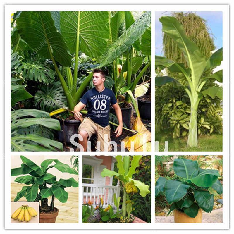 50 sztuk Dwarf Mini Banana drzewo bonsai Tropical słodkie pożywne jedzenie owoce kwiat balkonowy dla domu roślin kiełkowania 95% +