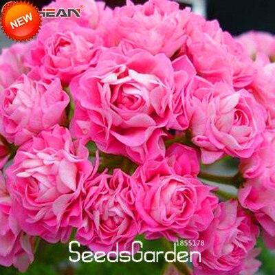 New Seeds 2015!Pink Gloxinia Seeds Perennial Flowering Plants Sinningia Speciosa Bonsai Balcony Flower,100 Seed/Lot,#YQ4ZX2