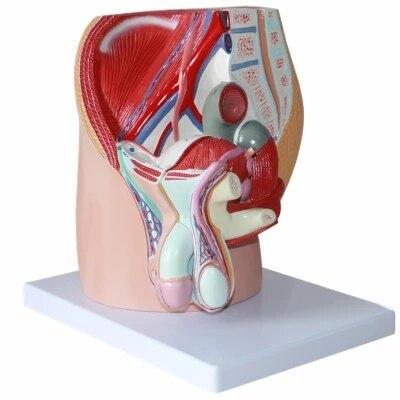 Menschliche Männliche becken sagittal anatomie männliche ...