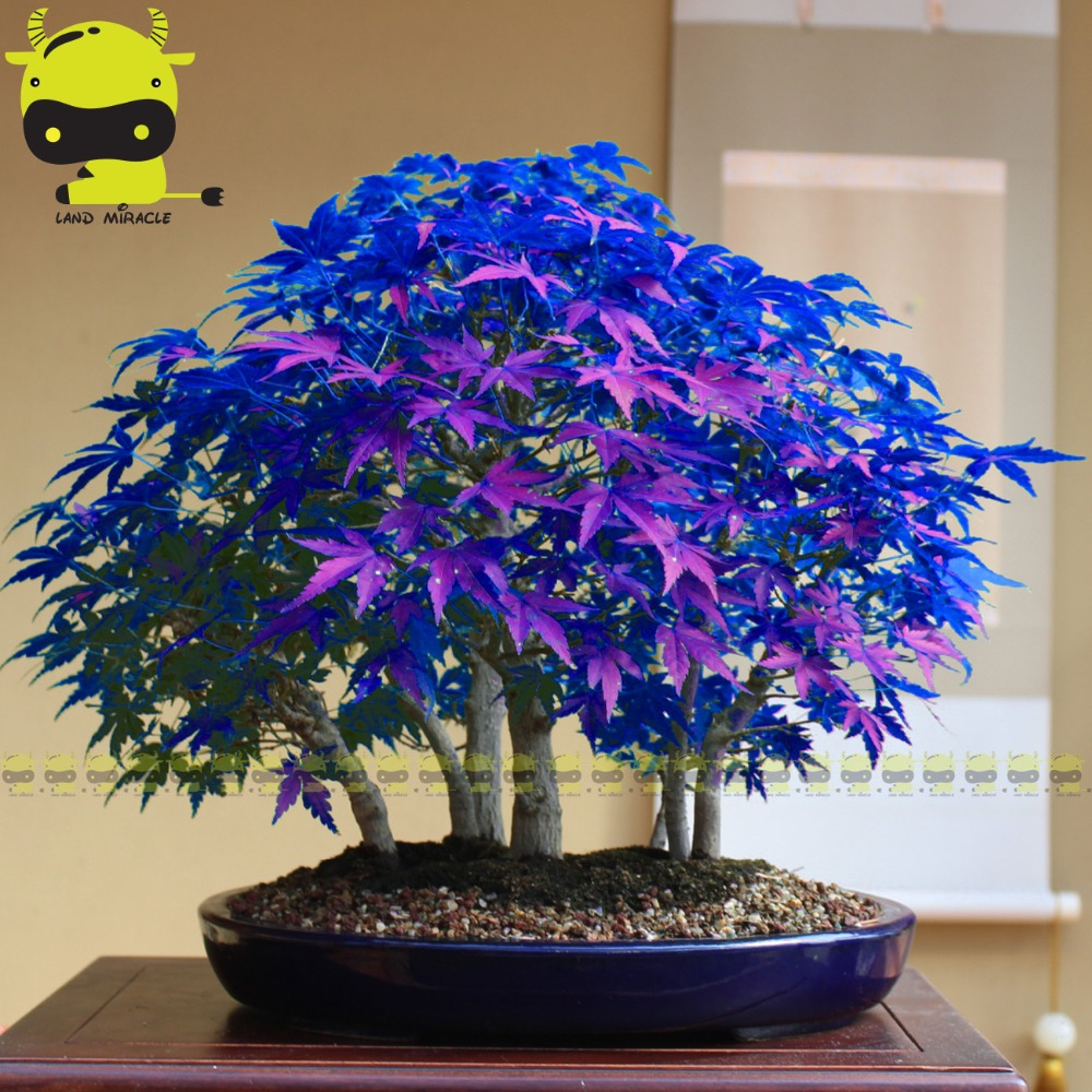 Purple blue ghost japanese maple tree acer palatum 10pcspack purple blue ghost japanese maple tree acer palatum 10pcspack bonsai flower seedstree seedspotted plant for home garden in bonsai from home izmirmasajfo Images