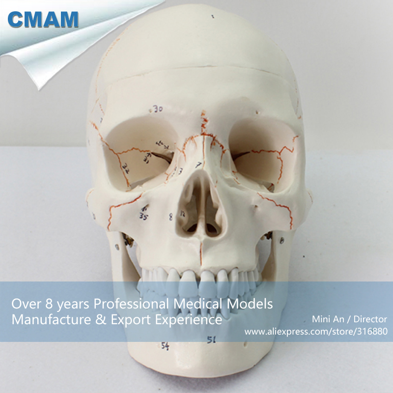 12331 CMAM-SKULL05 Life Size Numbered Human Skull Skeleton Model,  Medical Science Educational Teaching Anatomical Models 1 2 life size knee joint anatomical model skeleton human medical anatomy for medical science teaching