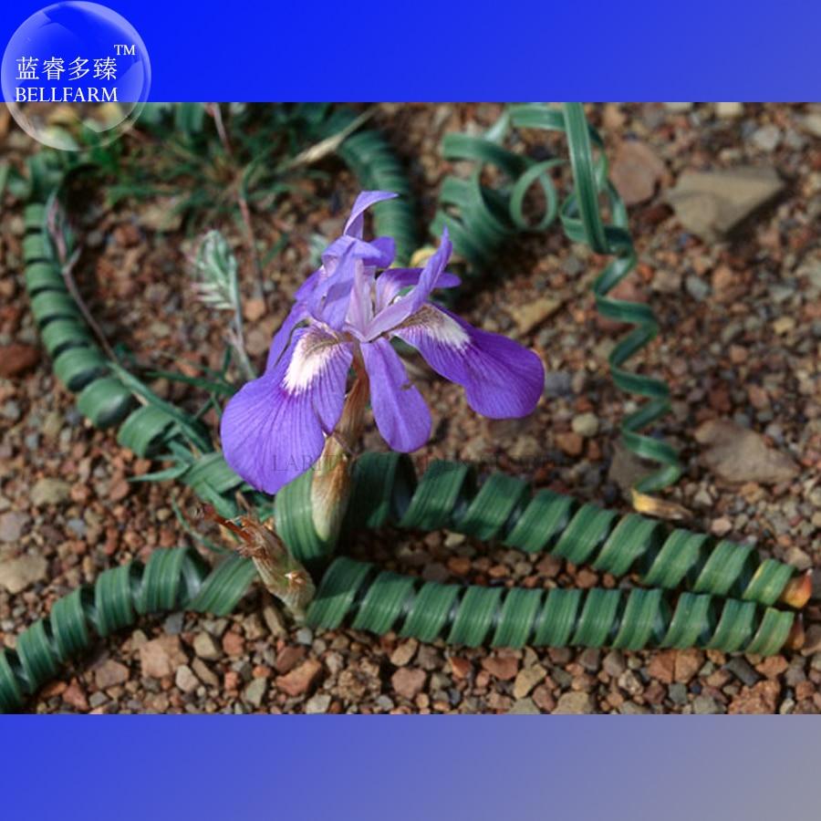 Bellfarm Bonsai Moraea Pritzeliana Indigenous Endemic Perennial