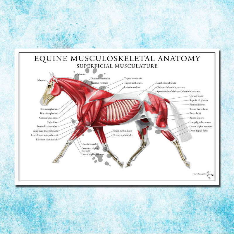 Anatomy Muscles System Art Silk Poster 13x20 32x48 inch Body Map Pictures for Medical Education 004