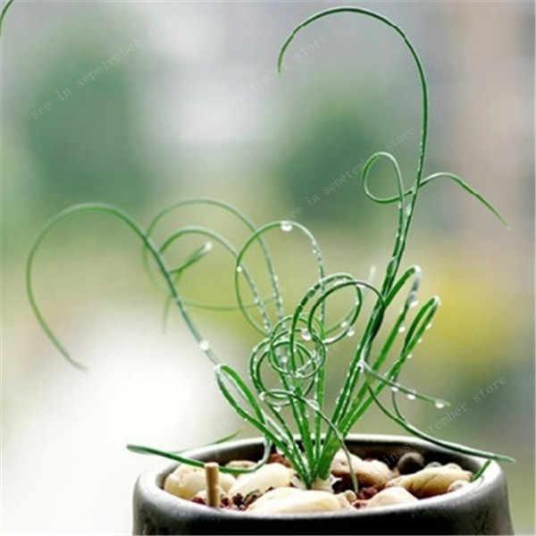 تخفيضات! 500 قطع دوامة العشب نبات عصاري العشب لتقوم بها بنفسك بونساي بوعاء حديقة الأسرة الغريبة النباتات الزينة الربيع العشب