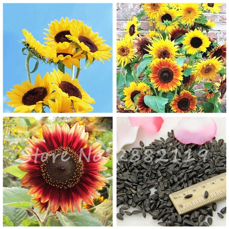 30 pcs Rare Flower Helianthus Seeds Bonsai Sunflower Flowering Planting,Sun  Flower Fortune Bloom Garden Pots Planters - Online Get Cheap Sunflower Planter -Aliexpress.com Alibaba Group