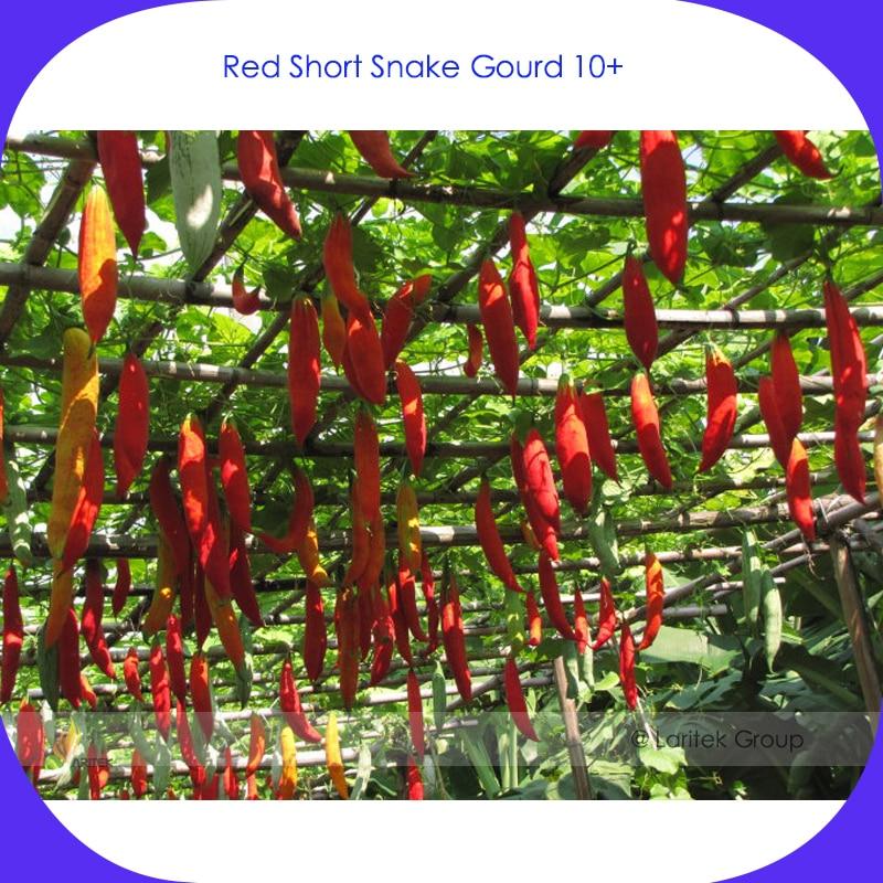 Red Short Snake Gourd Seeds Professional Pack 10 Seeds Pack