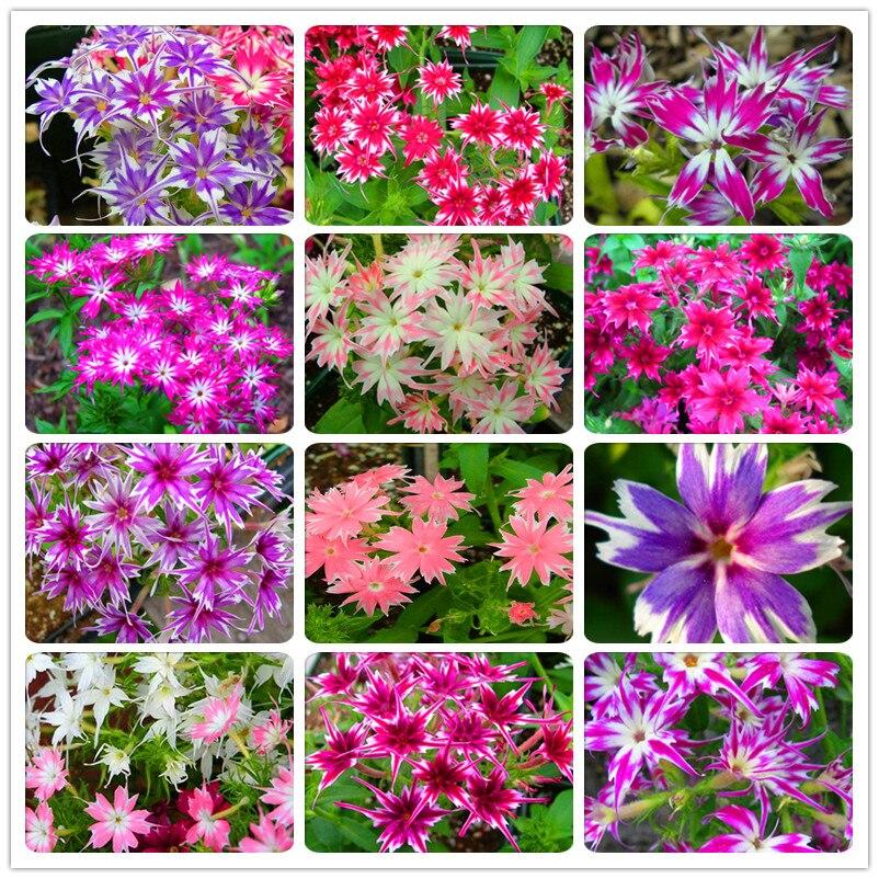 Phlox Drummondii Genuine! 100 Seeds/Lot...