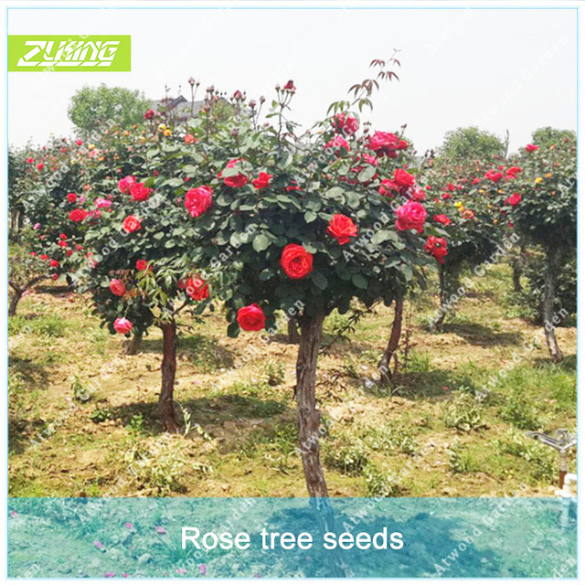 ZLKING 100pcs Red Rose Flower Tree Seeds Of Perennial Home Garden Plant  Bonsai Exotic Flowering Plants