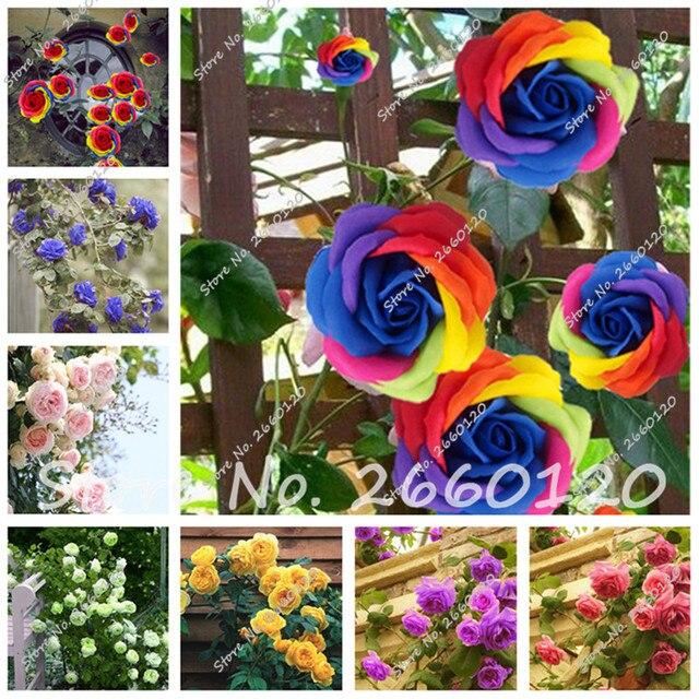 Rrare exótico 10 piezas Rosa plantas Arco Iris rosas Bonsai FLORES PLANTAS perenne jardín jardim plante para jardín de Casa Decoración