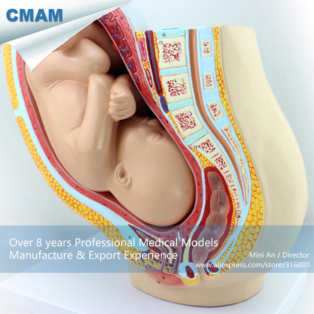 12448 Cmam Anatomy10 First Quality Pregnancy Pelvis 40 Month Infant