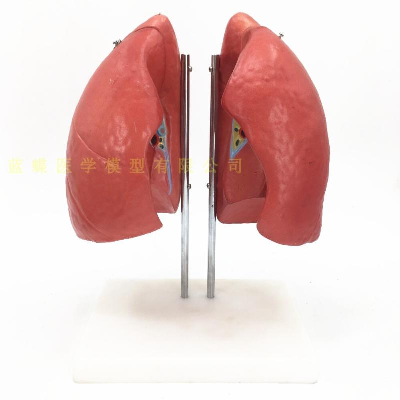 Human anatomy model of lungHuman anatomy model of lung