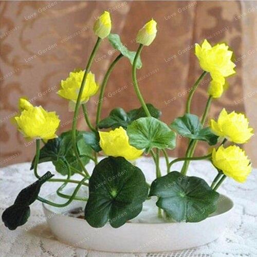 10 Pcs/Pack Bowl Lotus Bonsai Hydroponic Plants 3