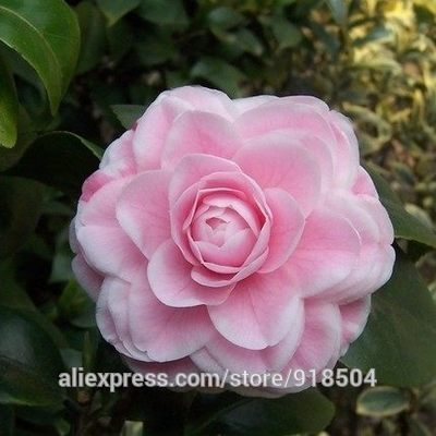 Free get $20 coupons  50 pieces/bag,Camellia seeds, Camellia flowers seeds 24kinds color for chose