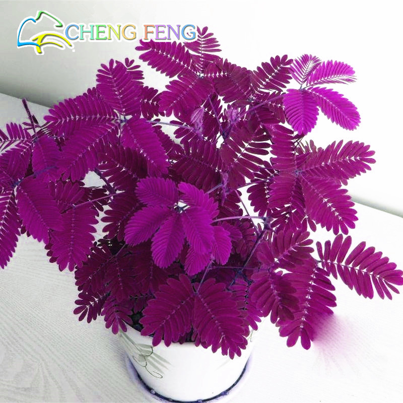 Hot Sales! 30pcs Bashful Grass Seeds Mimosa Pudica Linn, Foliage Mimosa Pud..