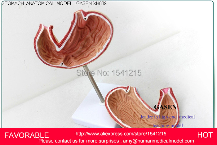 GASTRIC ANATOMY,TEACHING MEDICAL ,ANATOMICAL MODEL, GASTROINTESTINAL MODEL,STOMACH ANATOMICAL MODEL,STOMACH MODEL-GASEN-XH009 gastric anatomy model bix a1045 g149