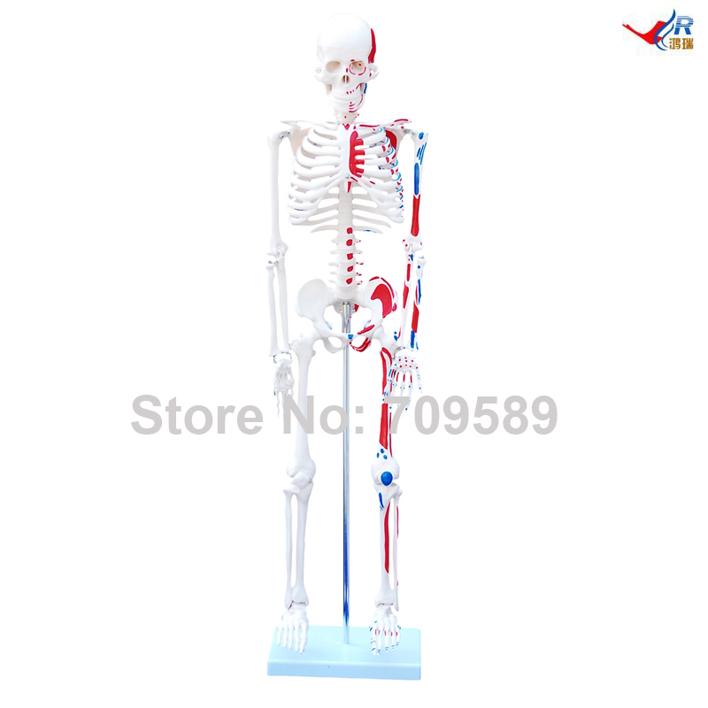85cm Skeleton with Painted Muscles85cm Skeleton with Painted Muscles