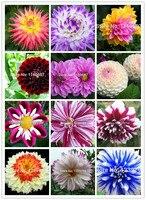 100pcse dahlias seeds rare  flower Seeds ementes de flores for Home &garden case e jardim semillas de plantas with a free gift
