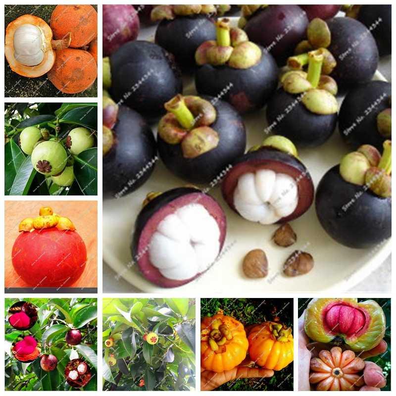 الأسرة Clusiaceae غاركينيا Mangostana بونساي دائمة الخضرة شجرة الأرجواني مانغوستين الفاكهة بونساي معدل 95% حديقة مصنع 100 Pcs بوعاء