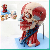 HOT Head with Muscles and brain Model,anatomical head model
