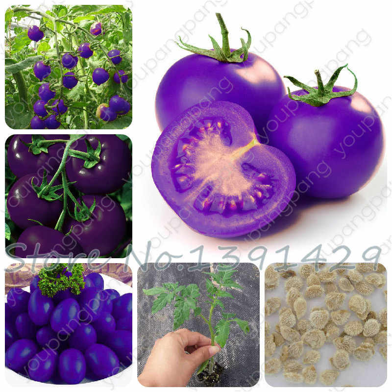 Purple Sacred Fruit Tomato Bonsai 100 Pcs / Packing Vegetables And Fruits For Home Garden * Farm Plants Easy To Grow plants