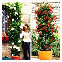 100 шт./пакет мандевиллы Sanderi сад, Dipladenia sanderi растения, бонсай цветок, растение, свадебная брошь, для внутреннего и наружного спорта и двор