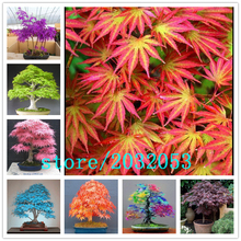 20 pcs/bag bonsai japanese maple seeds ,toronto leafs Organic flower tree potted for home garden Four seasons plant