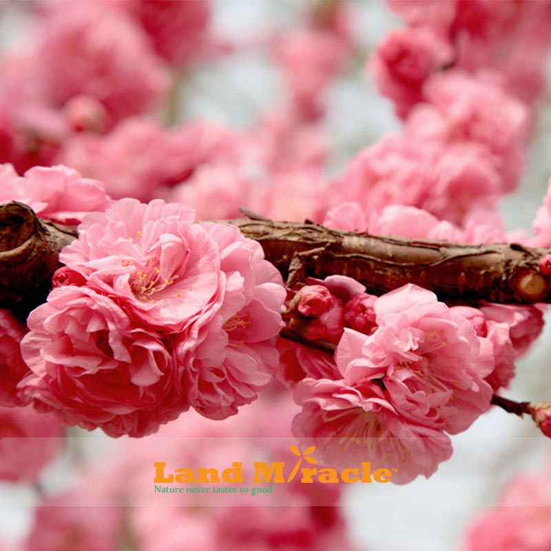 You May Also Like Pink Cherry Tree Anese Sakura
