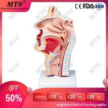 Human nasal cavity throat anatomical model throat and pharynx ENT model medical teaching iso anatomical larynx model with toungue and teeth laryngeal model