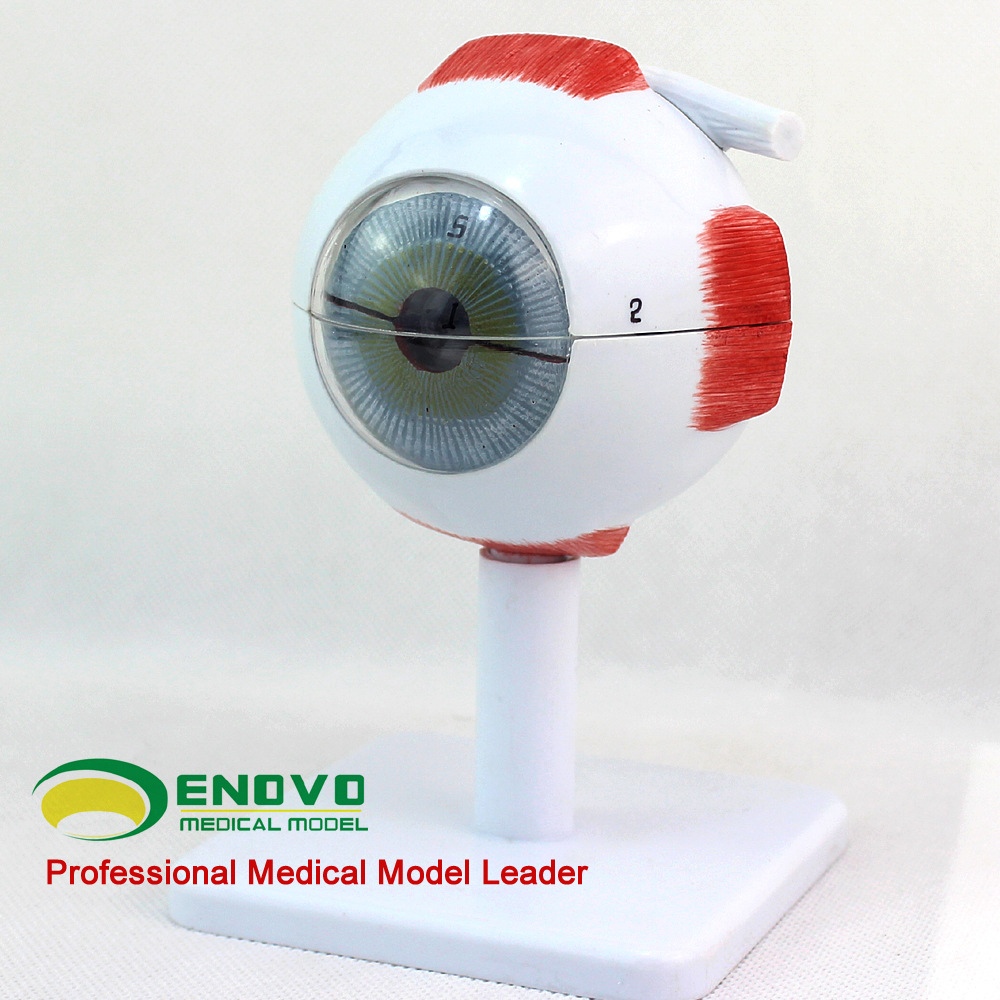 Master 4D eye anatomy model assembled human model new 3D structure of the eye puzzle enlarge 6x human eye model eyeball anatomy model human eyeball teaching model medicine
