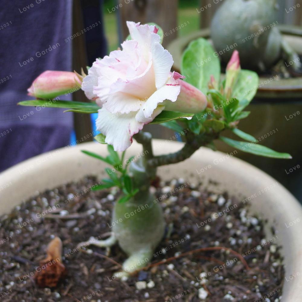 White Desert Rose Bonsai Potted Flowers Bonsai 100 True Bonsai Air