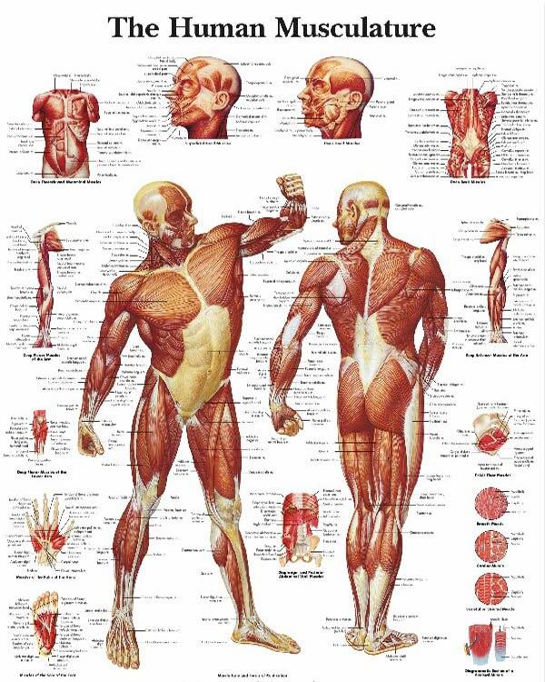 Muscle Diagrams Tenderness
