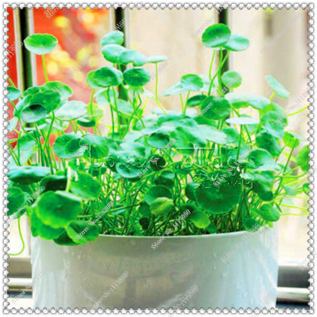 200 pcs/bag Gotu kola Seeds High Germination Rate,bonsai plant home garden