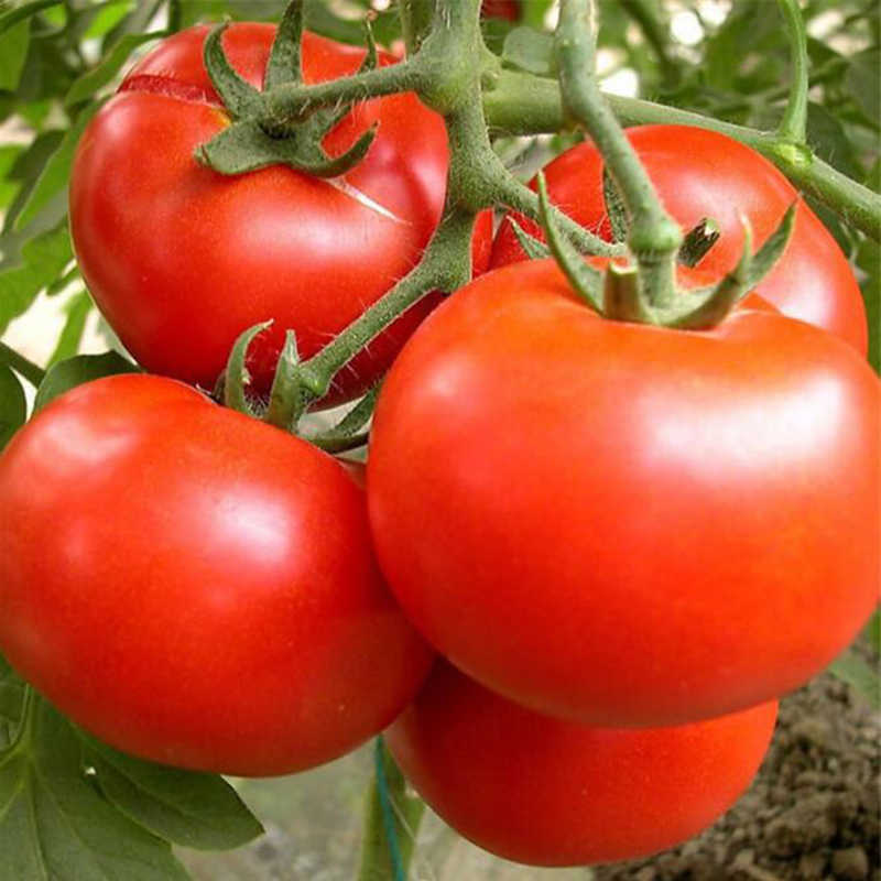 100 Pieces/Package, Fresh Red Tomato Bonsai King Tana Tomato Potted Organic Vegetable Fruit Balcony Garden Garden Plant