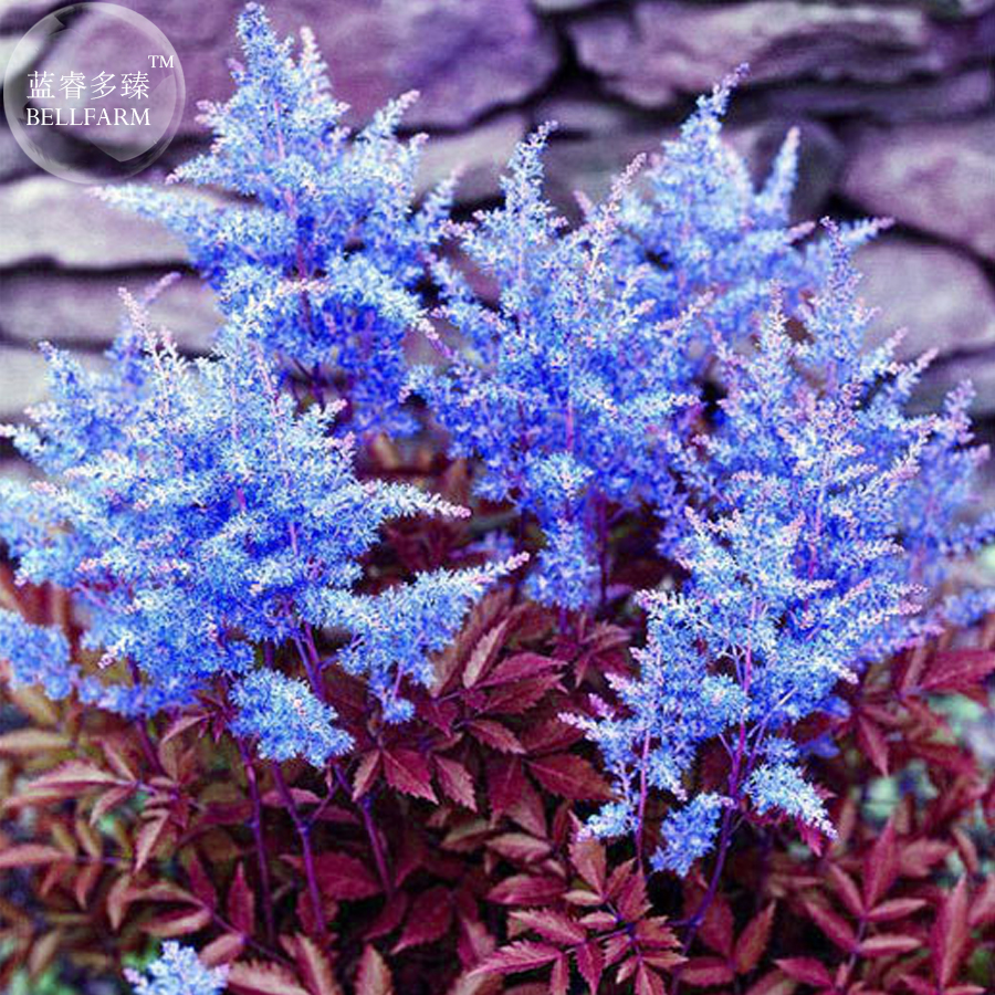 Bellfarm Dark Blue Astilbe Chinensis Perennial Flower Seeds 100